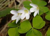 Woodsorrel with flowers — Stock Photo