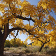 Stock Photo: Fall tree in New Mexico