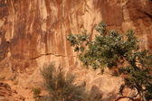 Juniper tree inMoab — Stock Photo