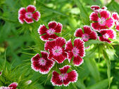 Turkish carnation — Stock Photo