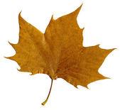 Autumn leaf isolated on white background — Stock Photo