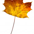 Autumn leaf isolated on white background — Foto Stock