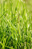 Fresh grass — Stock Photo