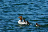Mother duck and three baby ducks swimming — Stock Photo