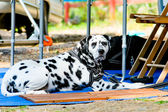 Sad dalmatian — Stock Photo