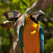 Blue-yellow macaw parrot — Stock Photo