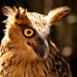 Owl from with opened beak and yellow eye - Stock Photo