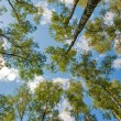 Looking to the trees from ground — Stock Photo