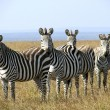 Herd of zebras grazing — Stock Photo