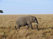 Elephant walking through the grasslands — Stock Photo