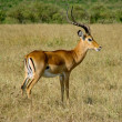 Impala antelope - Stock Photo