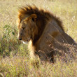 Lion lieing on grassland — Stock Photo #3447314