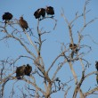Flock of vultures roosting on a tree - Stock Photo