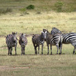 Zebras Kenya — Stock Photo #3447362