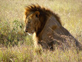 Lion lieing on the grassland — Stock Photo