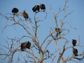 Flock of vultures roosting on a tree — Stock Photo