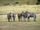 Zebras Kenya — Stock Photo