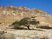 Single Tree in Negev Desert — Stock Photo