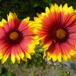 Bicolor Gerbera — Stock Photo