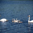 Stock Photo: Swan family