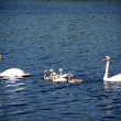 Swan family — Stock Photo #3441516