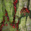 Red beetles in bark — Stock Photo