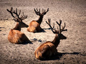 Three deers — Stock Photo
