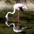 Flamingo in a Lake — Stock Photo