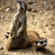 Stock Photo: Meerkat in Pose
