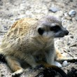 Stock Photo: Meerkat in sand