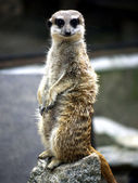 Meerkat on stone — Stock Photo