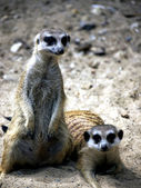 Meerkat standing and lying — Stock Photo