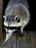 Raccoon in movement — Stock Photo