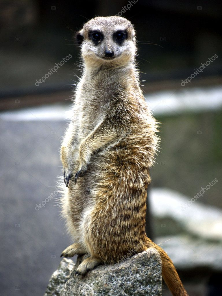 Meerkat sitting on a stone — Stock Photo #3579615