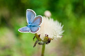Butterfly and dandelion — Stock Photo
