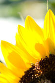 Sunflower. — Stockfoto