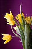 Yellow tulips — Foto de Stock