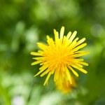 Beautiful yellow dandelion — Stock Photo