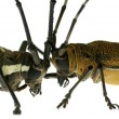 Insect long horn beetle fight - Stock Photo