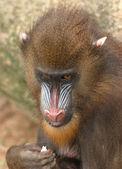 Animal monkey mandrill — Stock Photo