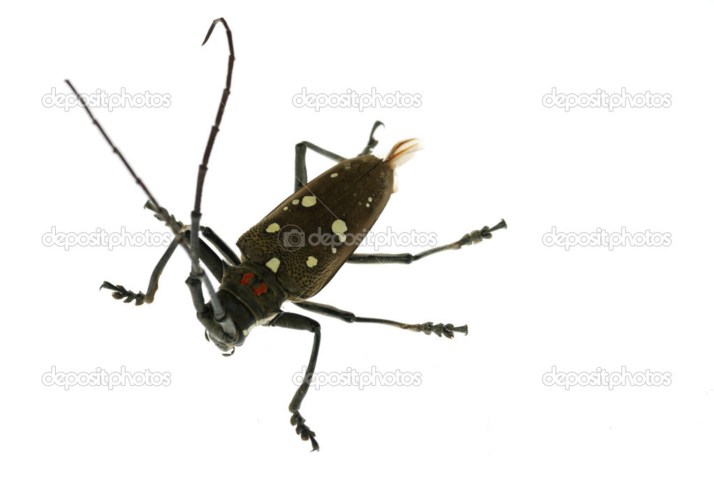 Insect long horn beetle isolated — Stock Photo #3136401