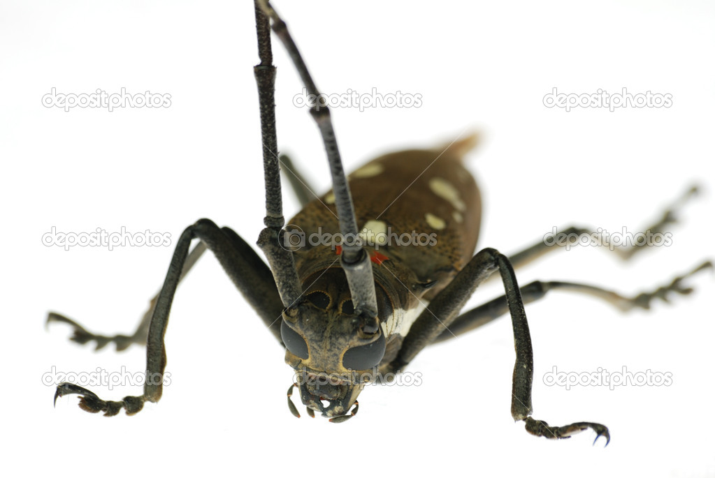 Insect long horn beetle isolated — Stock Photo #3136409