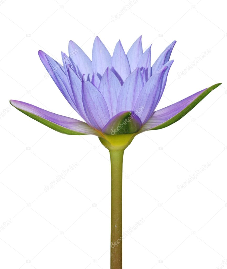 Blue water lily flower isolated in white — Foto de Stock   #3137121