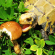 Pet turtle tortoise eat mushroom — Stock Photo