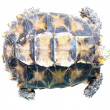 Pet turtle impressa Impressed tortoise — Stock Photo