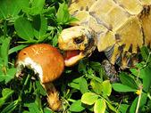 Pet turtle tortoise eat mushroom — Stock Photo