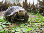 Pet turtle elongata Elongated tortoise — Photo