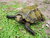 Pet turtle Impressed tortoise — Stock Photo