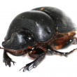 Insect dung beetle — Stock Photo