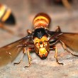 Wasp bee macro — Stock Photo
